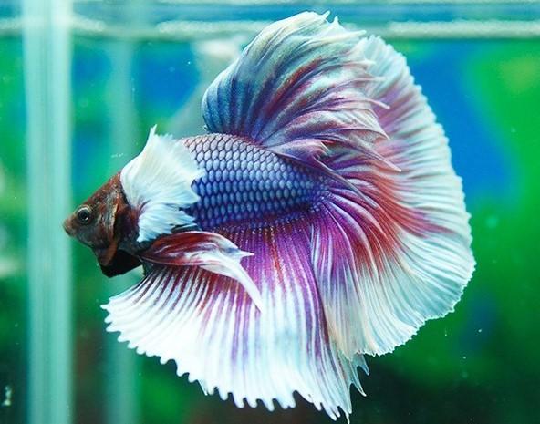 Cá Betta mang vẻ đẹp đầy thu hút và mê hoặc
