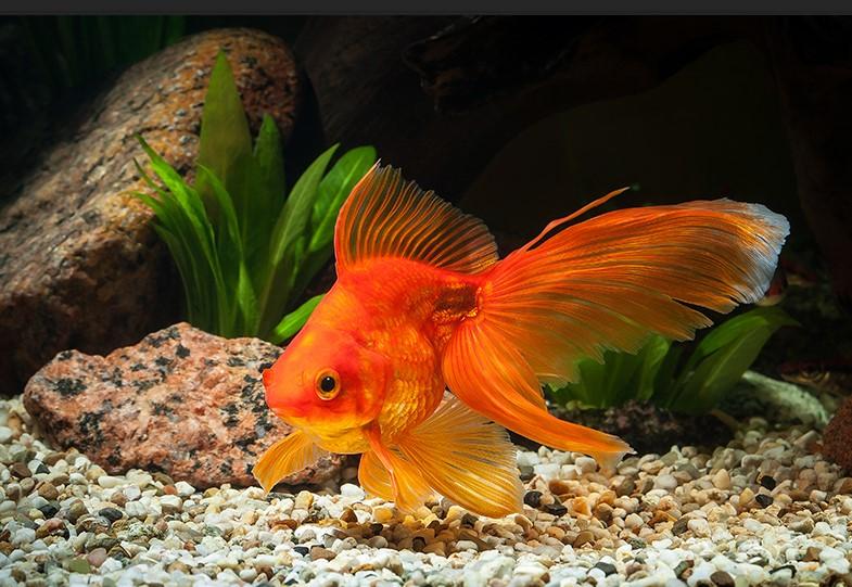 Cá vàng rực rỡ làm không gian thêm nổi bật