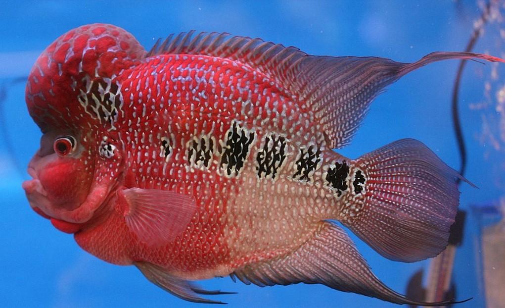 Cá La Hán là loại cá được nuôi phố biến