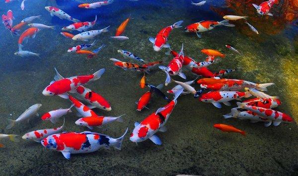Người chơi cần tìm hiểu kiến thức cơ bản khi nuôi cá Koi