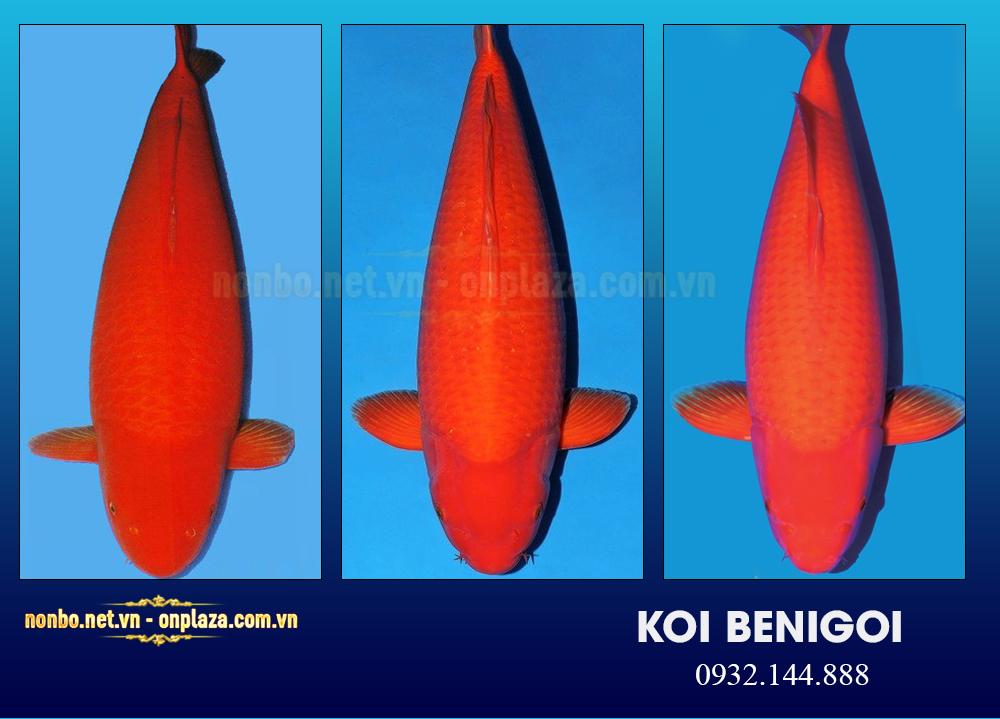 cá Koi benigoi (mud pond)