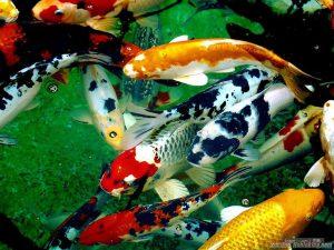 Cá Koi của Trung Quốc và Nhật Bản phổ biến trên thị trường hiện nay