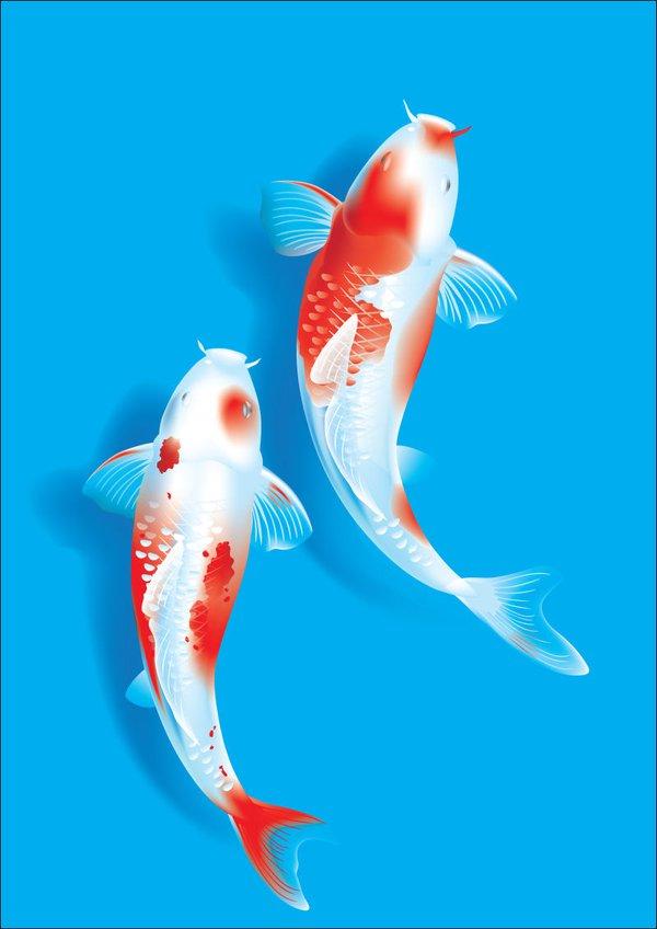 Cá Koi giàu tính trang trí, mang ý nghĩa phong thủy đặc biệt