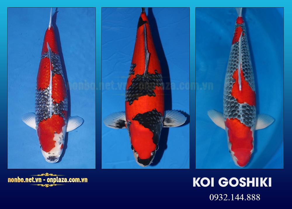 Cá koi Goshiki