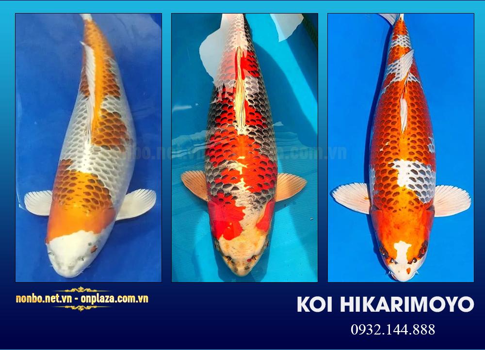 Cá koi Hikarimoyo