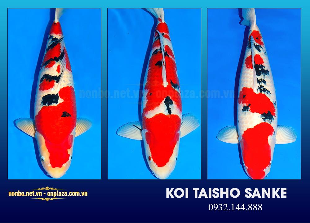 Cá koi Taisho Sanke