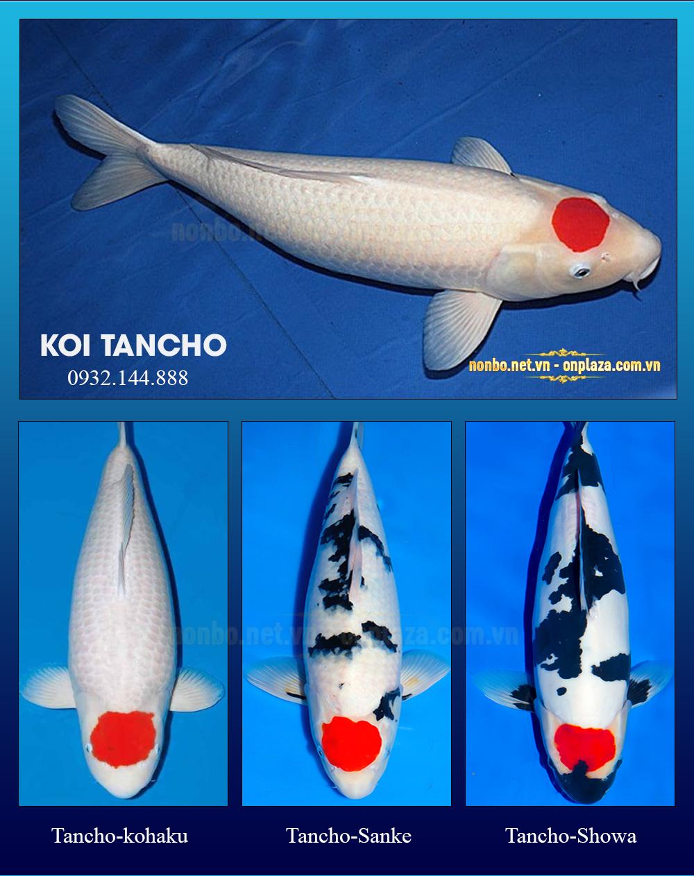 Cá koi Tancho