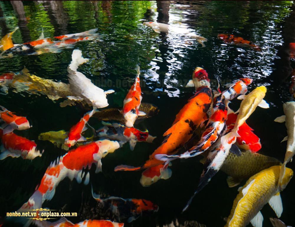 Hồ nuôi cá koi nghìn tỷ
