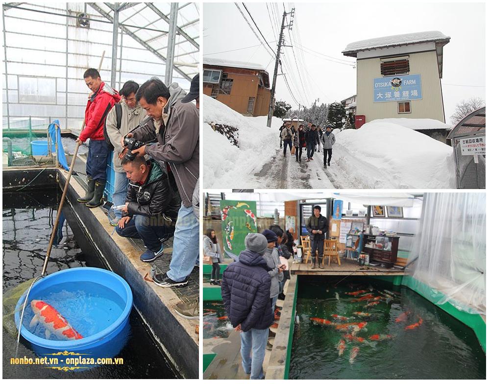 Hình ảnh trang trại cá koi Otsuka