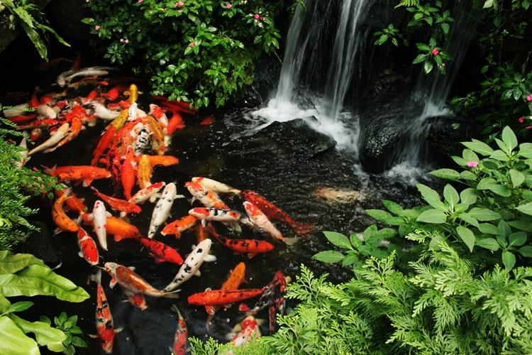 Hồ cá koi đẹp nhất Việt Nam tại Hà Nội
