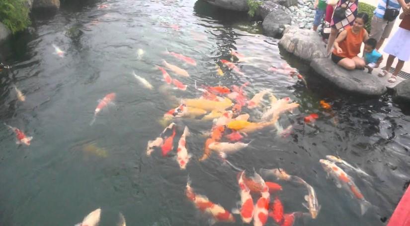 Hồ cá Koi Nhật Bản - Hóc Môn