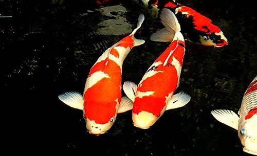 Lựa chọn cá Koi đẹp chủ yếu dựa vào độ khỏe khoắn, màu sắc, hình dáng.