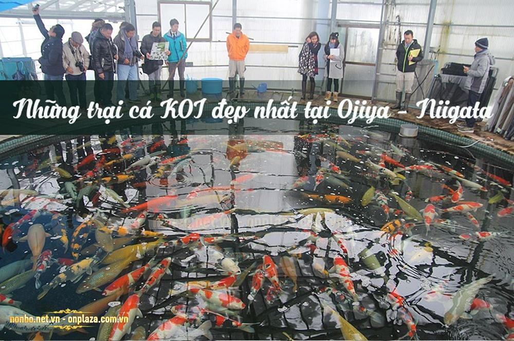 Những trang trại cá koi đẹp nhất tại Ojiya