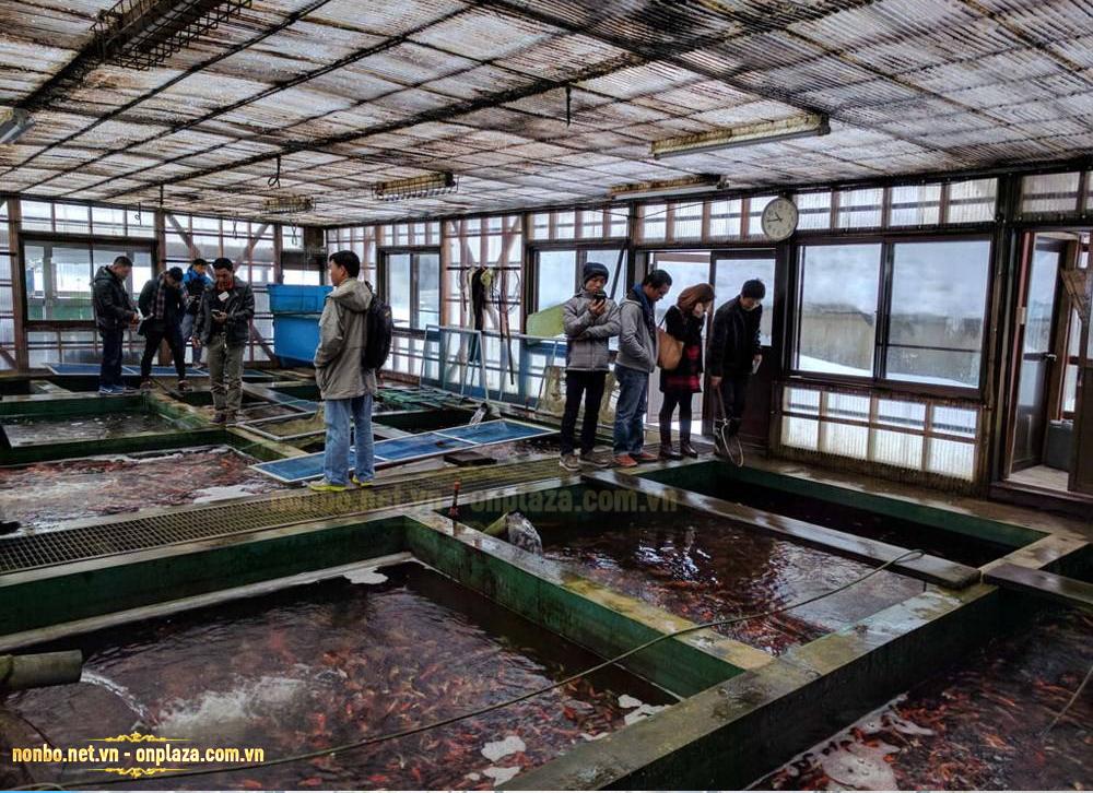 Trang trại cá koi giống tại Nhật Bản