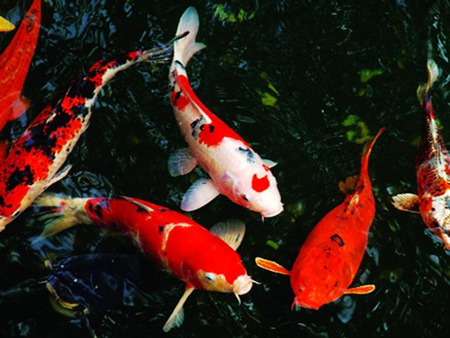 Việc nhân giống cá Koi được tiến hành nghiêm ngặt.