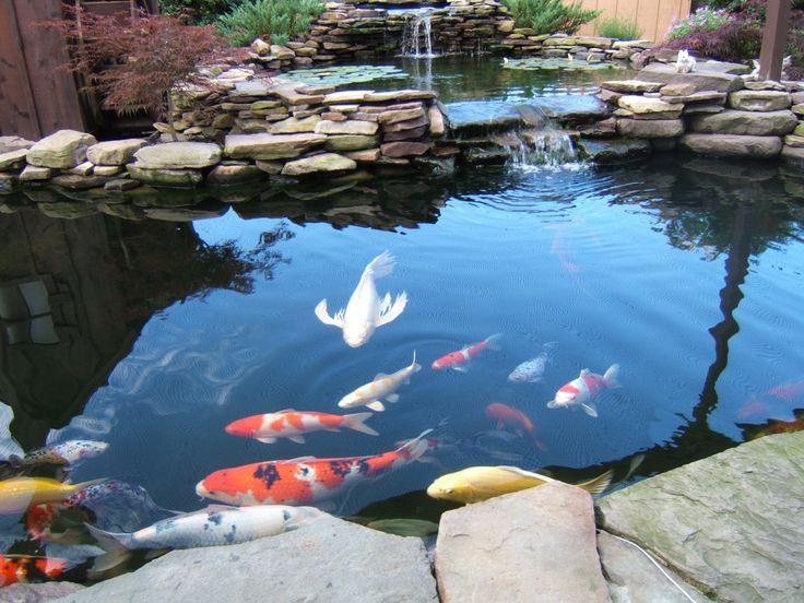 Về cách chọn giống và thả thêm loại cá koi mới vào nước