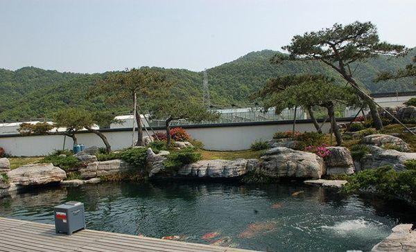 hồ cá koi sân vườn rộng có cây cổ thụ và đá tảng