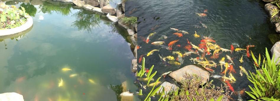 Vệ sinh nguồn nước hồ cá koi