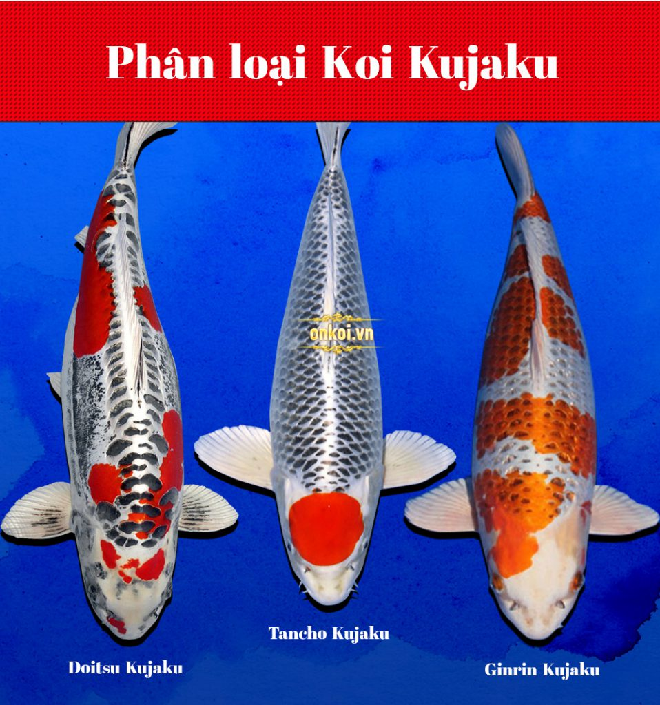 Phân loại cá Koi Kujaku