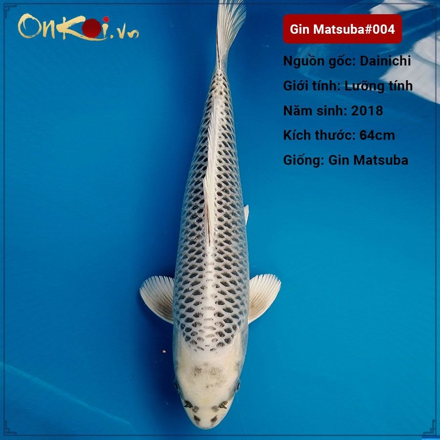 Tiêu chuẩn đánh giá một chú cá Koi Matsuba đẹp