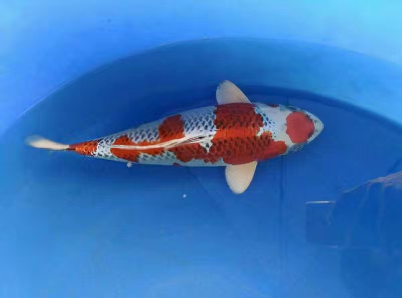 Đặc điểm của cá Koi Kujaku