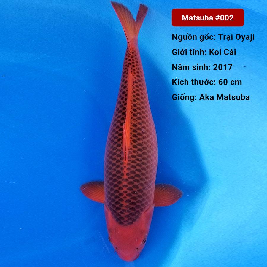 Koi Matsuba: Nguồn gốc, đặc điểm, cách chọn