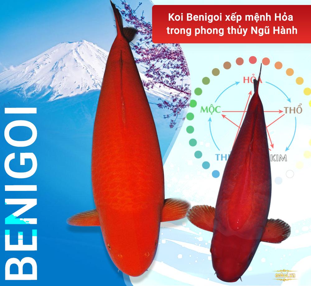 cá Koi Benigoi có màu đỏ