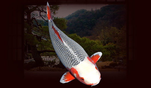 Lưu ý cách lựa chọn cá Asagi trưởng thành đẹp