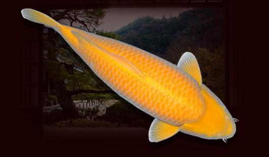 Đặc điểm của cá Koi Karashi
