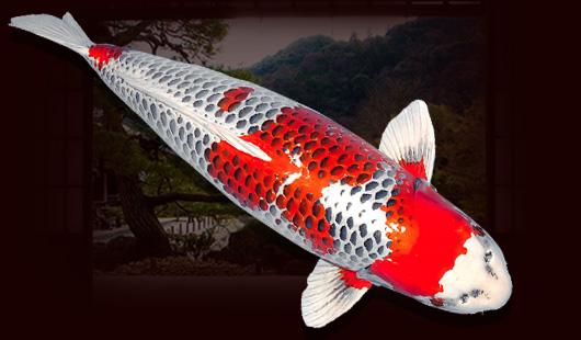 Nguồn gốc của cá Koi Kujaku