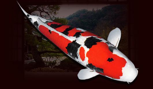 Nguồn gốc, lịch sử của cá Koi Taisho Sanke