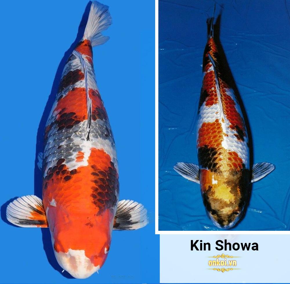 Kin Showa: 3 màu đỏ đen, trắng bạc.