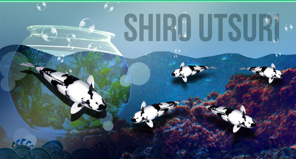 đánh giá chất lượng 1 em shiro utsuri đẹp